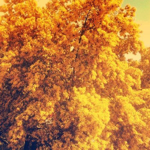 Eu juro que não pensei: este amarelo lembra os filmes do Wesanderson Yellow Tree Leaves Amarelo Arvore