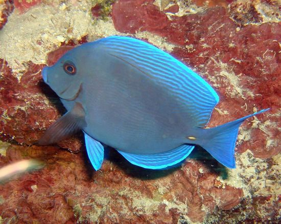 Blue Fish Honduras Sea Life Clear Water Scuba Diving Nature Diving Sea Marine Life Ocean Honduras Utila Underwater Sealife Oceanlife Scubalife UnderSea Colors Of Nature Beauty In Nature Beautiful Nature Stunning Blue Blue Fish Fish Fishes Red Ocean Red Rocks