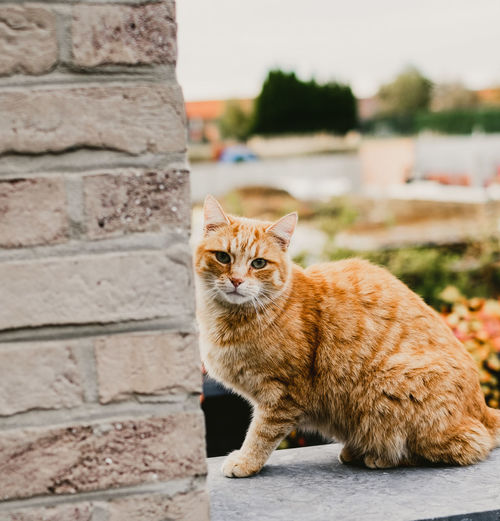 Cat Domestic Cat Mammal Feline Pets Domestic One Animal Domestic Animals Vertebrate Portrait Focus On Foreground Looking At Camera No People Day Whisker Sitting Wall Ginger Cat EyeEmNewHere