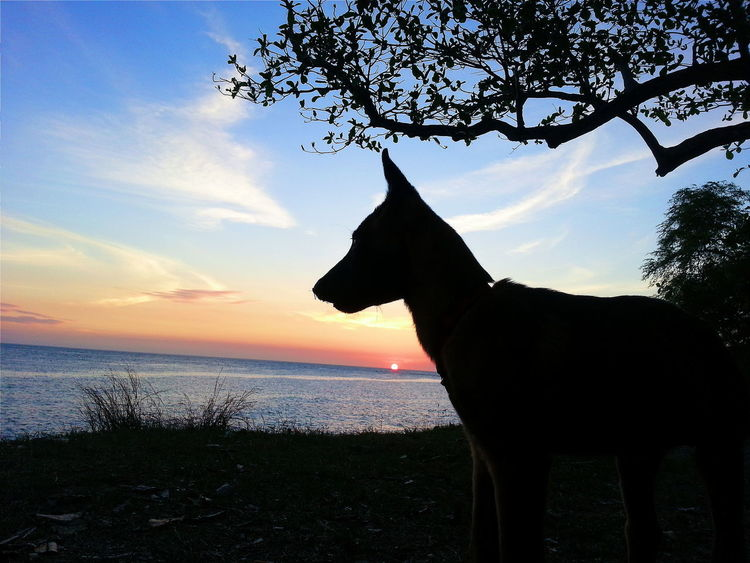 Q for Qui Vive Quick Alert Watchful Vigilance  Dog Belgian Malinois Puppy Silhouette Sunset Silouette & Sky Sunset Silhouettes EyeEm Best Shots Eye4photography  EyeEm Gallery EyeEmBestPics EyeEm Masterclass EyeEm Best Pics Eyeemphotography Animals Chien Perro Light And Shadow Pastel Power