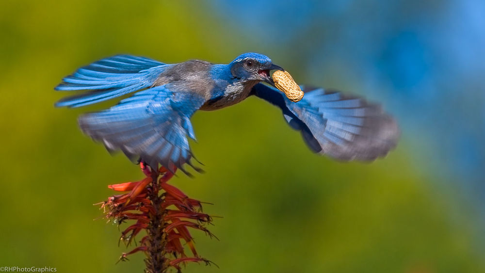 WILL WORK FOR PEANUTS Animal Themes Beauty In Nature Bird Bird In Flight Bird Photography Feather  Fine Art Fine Art Photography Outdoors Peanut Scrubjay Selective Focus Shocase: July Colour Of Life