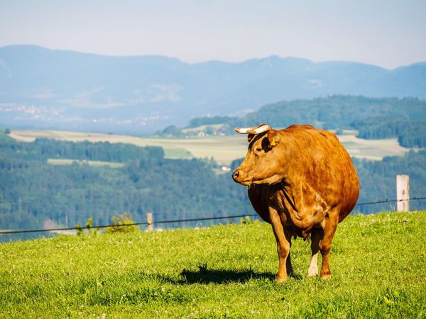 One Animal Animal Themes Mountain Grass Landscape Cattle Field Nature Cow Mammal Domestic Animals Livestock No People Green Color Scenics Mountain Range Beauty In Nature Day Outdoors Tree Cows In A Field Cow Switzerland