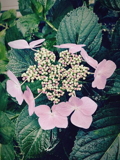 Hydrangea Flower Nature Blossom Countryside IPhoneography Japan 紫陽花 花 自然 里山 田舎暮らし
