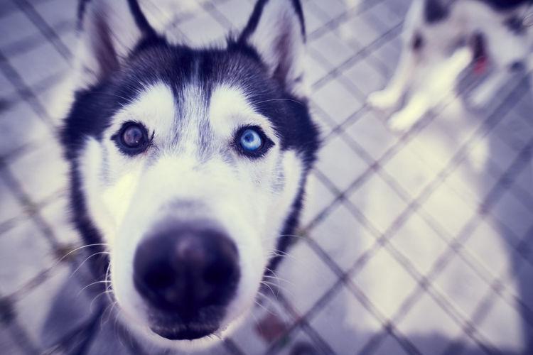 husky/malamute