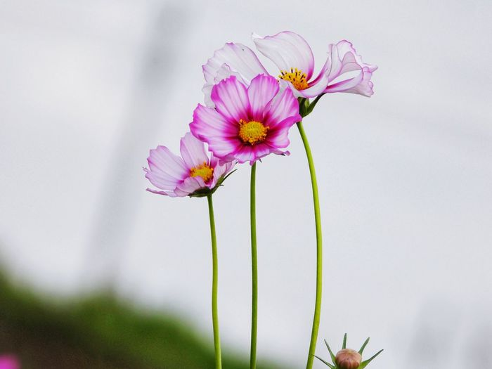 Close-up of pink cosmos flowers growing outdoors