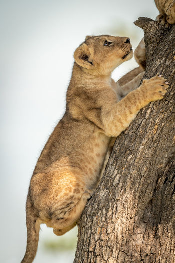Low angle view of lion cub on tree trunk