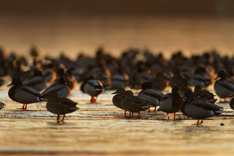 Flock of birds perching on a frozen lake in sunset