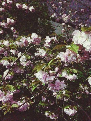 Cherry Blossoms Night On My Way Miss Someone