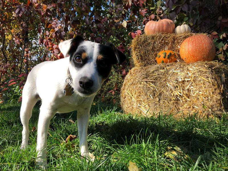 Dog with pumpkins Jack Russell Terrier IPhoneography Cute Fall Colors Pumpkin One Animal Canine Dog Pets Mammal Animal Themes Animal Domestic Animals Domestic No People Plant Nature Day Sunlight Looking At Camera Portrait Land Grass Field