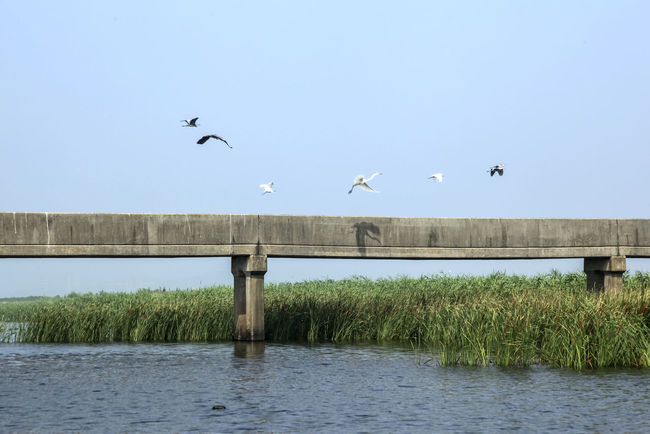 Animal Themes Animals In The Wild Bird Bridge Built Structure Clear Sky Flock Of Birds Flying Lake Lakeside Medium Group Of Animals Mid-air Nature One Animal Seagull Sky Spread Wings Tranquility Tree Water White Heron Wildlife