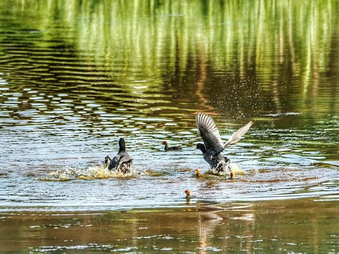 Coot Bird Fighting Coots Spreading Wings Wings Open Bird Photography Animal Wildlife Nature Photography Green Nature Animalphotography Bird's Eye View Eurasian Coots Splashing Water Angry Birds Bird Water Spread Wings Flying Lake Waterfront Reflection Water Bird The Great Outdoors - 2018 EyeEm Awards The Photojournalist - 2018 EyeEm Awards