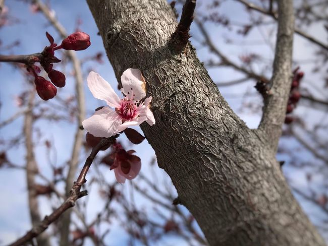 Close up of plum bud, blossom and branches EyeEm Selects Tree Branch Tree Trunk Growth Nature Beauty In Nature Day Outdoors No People Flower Close-up Perching Freshness Fragility Flower Head Focus On Foreground