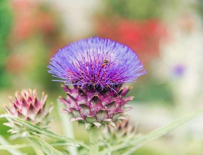 beauté simple du chardon bleu Chardon Bleu Chardon Bleu Flower Head Thistle Flower Defocused Closing Uncultivated Purple Wildflower Multi Colored Close-up