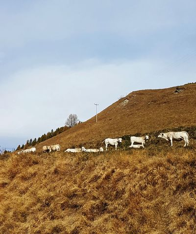 Large Group Of Animals Cows In A Field Cows In Mountain Tranquility Autumn Autumn Colors Travel Destination Group Of Cows Mountain Range Mountain Life Mountain Cows No People Day Outdoors Nature Landscape Sky