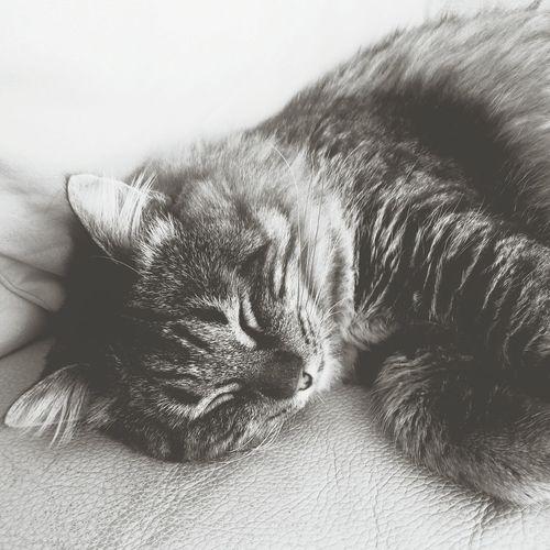 Dreams Cat Aslan Pet Cute♡