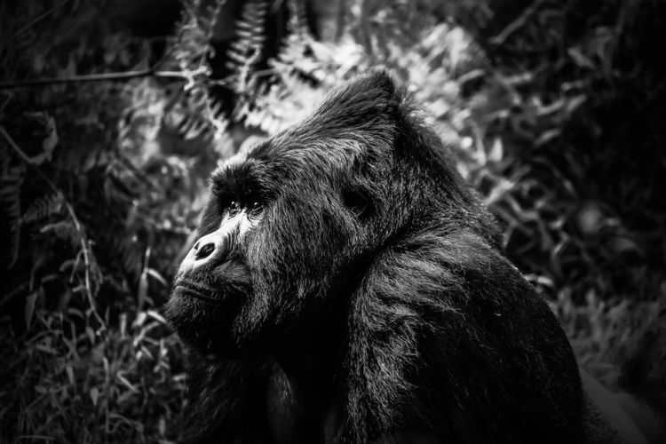 Side view of a gorilla looking away
