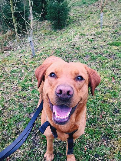 Fox Red Lab Labrador Foxred Lead Teeth Dog Canine One Animal Pets Domestic Domestic Animals Mammal Animal Themes Looking At Camera Animal Portrait Vertebrate Plant Mouth Grass Mouth Open Day Nature No People Field