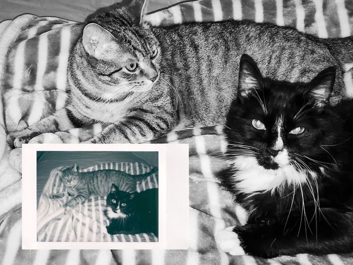 Instant Photo A Day Domestic Cat Pets Animal Themes Portrait Domestic Animals Mammal Indoors  Looking At Camera Feline Whisker One Animal No People Day Close-up Film Photography Instax Film Is Not Dead Black And White