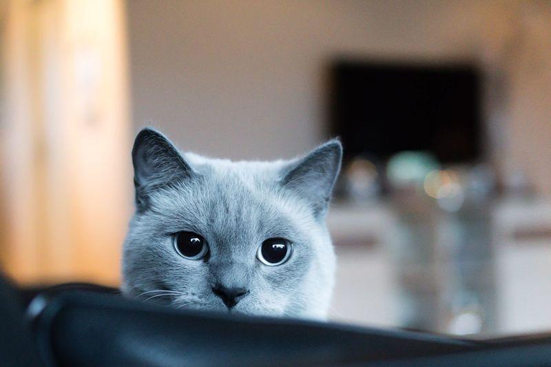 Portrait of british shorthair at home