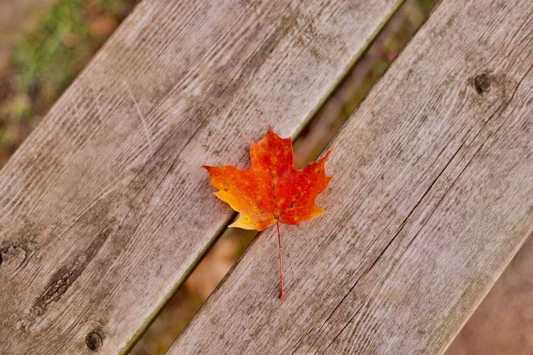 Maple leaf by Simon Yeung Autumn Leaf Close-up No People Outdoors Day Nature Maple Leaf Park Canada Ontario Toronto Photooftheday Photo Photography Fall Beauty Beauty In Nature EyeEm Eye4photography  EyeEm Selects Eyeem Market EyeEm Gallery Toronto Canada Tranquil Scene Wood - Material