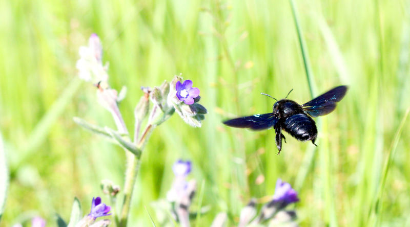 black bee Animal Themes Animal Wildlife Animals In The Wild Beauty In Nature Bee Black Bee Bumblebee Close-up Day Flower Fragility Freshness Growth Insect Nature No People One Animal Outdoors Plant Pollination Purple