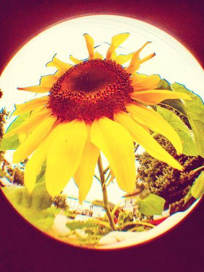 mystical sunflower Sunflowers🌻 Flower Freshness Plant Vulnerability  Fragility Close-up