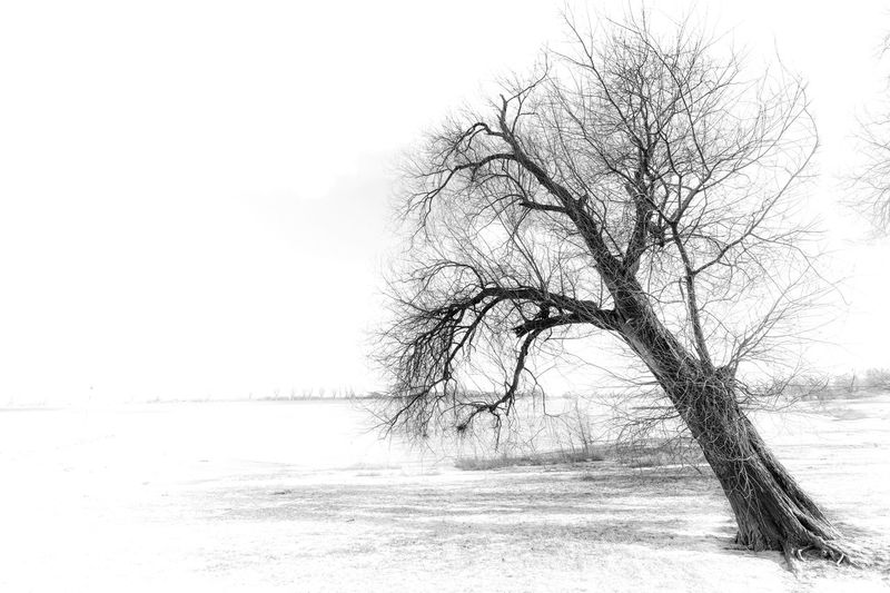 Little series of trees in winter. Bear Tree Black & White Düsseldorf EyeEm Best Shots EyeEm Nature Lover EyeEm Gallery EyeEmNewHere Meerbusch Nature Rhein Riverside Tree Winter Beauty In Nature Black And White Blackandwhite Branch Eye4photography  Food High Key Highkey Monochrome River Roots