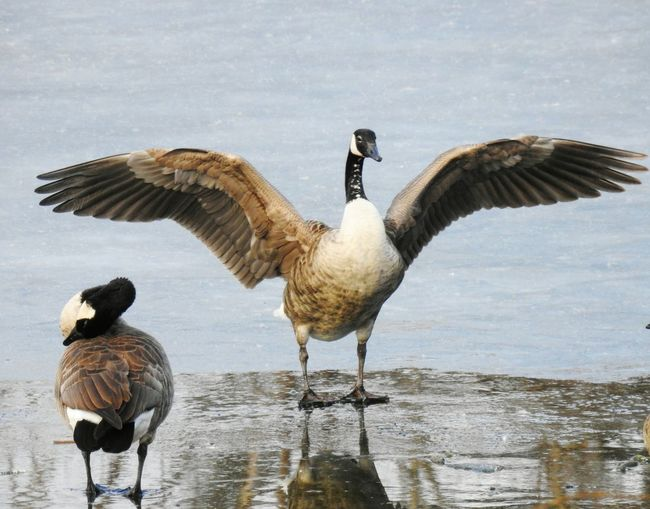 The Mighty Canada Goose. Wings Wings Spread Ice Standing On Ice Frozen Frozen Pond Pond Pond Life Bird Bird Photography Birding Bird Watching Bird Wings Canadian Goose Canada Geese Nature Photography Nature_collection Nature Wildlife Photography Bird Water Lake Spread Wings Goose Canada Goose Flock Of Birds Flapping Geese Water Bird Migrating