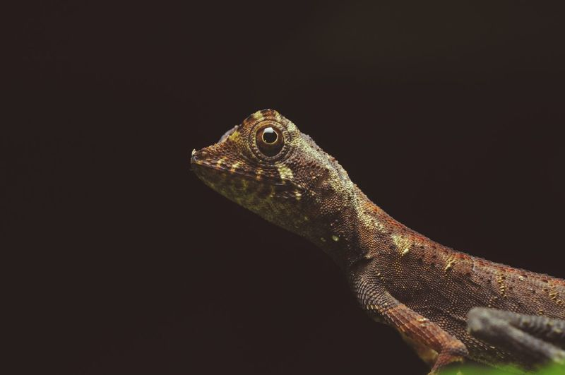 Garden lizard. Couri Garden Lizard No People Animal Themes Headshot Animal Wildlife Nature_collection Animal_collection Black Background Reptile Iguana Side View Chameleon Lizard Close-up Animal Scale Animal Skin Skin Animal Tongue Animal Eye Sticking Out Tongue