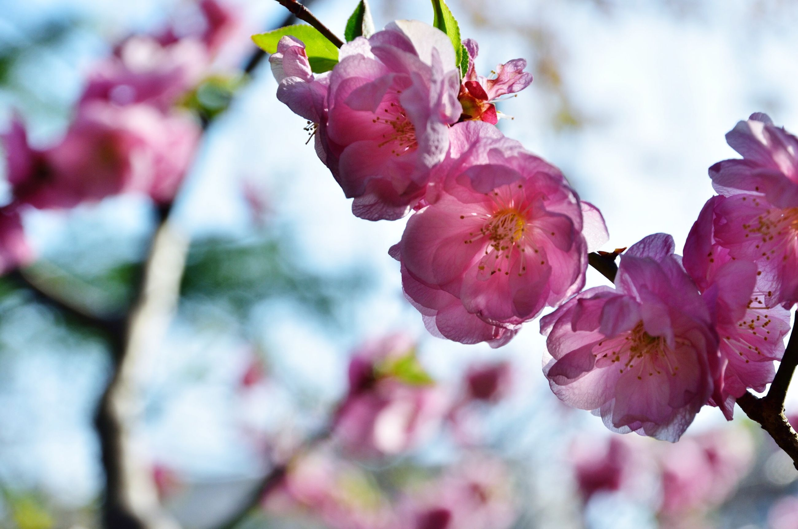 flower, freshness, pink color, fragility, branch, growth, cherry blossom, beauty in nature, tree, petal, focus on foreground, close-up, nature, cherry tree, blossom, pink, blooming, in bloom, springtime, twig