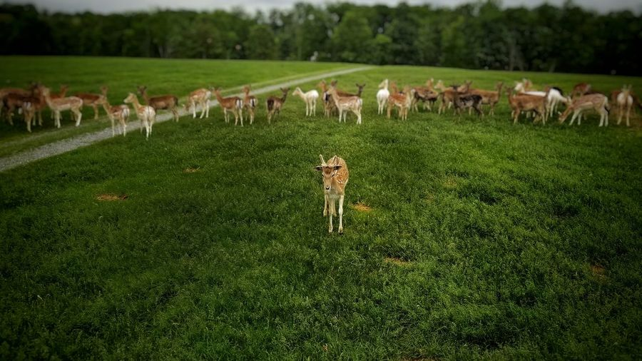 Stare Deer Field Challenge Gang Standing Grass Large Group Of Animals Livestock Field Nature Landscape Rural Scene