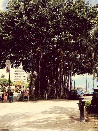 A beautiful tree on Waikiki beach Transportation Mode Of Transportation