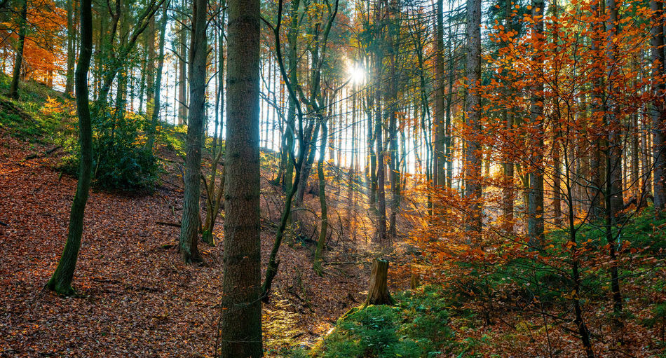 Pine trees in forest during autumn