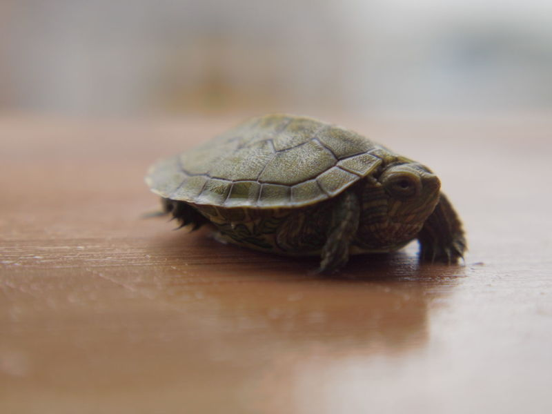 EyeEm Selects Reptile Animal Wildlife One Animal Tortoise Animals In The Wild Animal No People Tortoise Shell Animal Themes Indoors  Day Close-up Nature