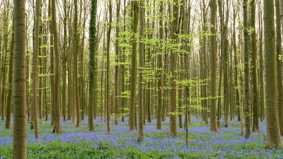 The magic of Hallerbos - bluebells - April 2019 - Plant Forest Tree Beauty In Nature Land Growth Flower Tranquility Nature Flowering Plant WoodLand Tree Trunk Green Color Tranquil Scene No People Trunk Landscape Scenics - Nature Non-urban Scene Environment Pine Woodland Pine Tree Outdoors Coniferous Tree Bamboo - Plant Bluebells Hallerbos Bois De Hal Hyacinth Flower