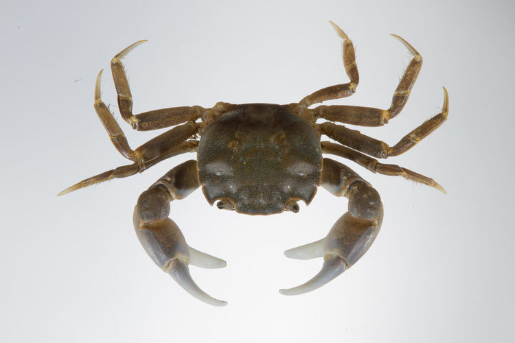 Close-up of crab against white background