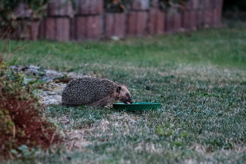50 Hedgehog Pictures Hd Download Authentic Images On Eyeem