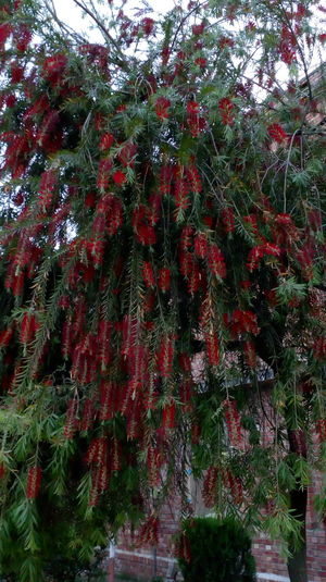 Red Growth Tree Nature Low Angle View No People Branch Beauty In Nature Outdoors Day Close-up Freshness No Filter, No Edit, Just Photography Fragility Red Flower At Its Best Nature Photography Hanging Petals🌸 Leaf Backgrounds Steam Plant Nature Green Green Green!  Blossoming Fresh & Bright