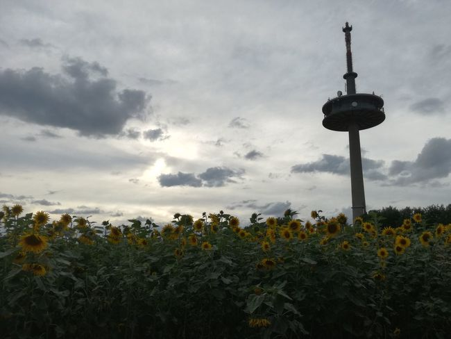 Sunflowers with tower in the back Sunflowers Ratisbona Cloud - Sky Dramatic Sky Sky Silhouette Sunset Nature Tranquility No People Beauty In Nature Flower