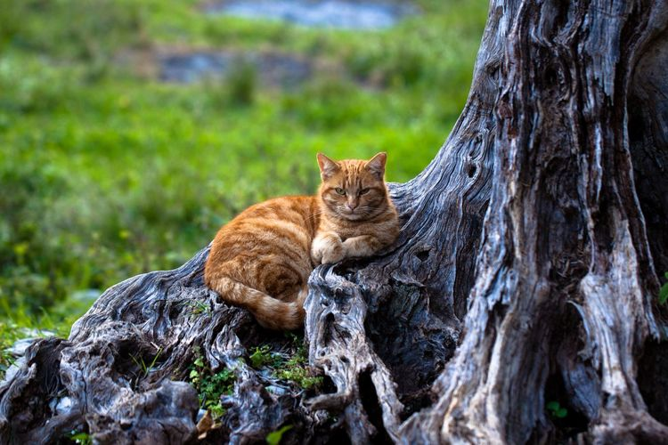 Ginger cat chilling on a tree trunk. Animal Themes Mammal Animal Tree Feline Cat Plant One Animal Tree Trunk Trunk Domestic Animals Nature Pets Domestic No People Relaxation Portrait Day Vertebrate Animal Wildlife Outdoors Whisker Ginger Cat Cats Chilling
