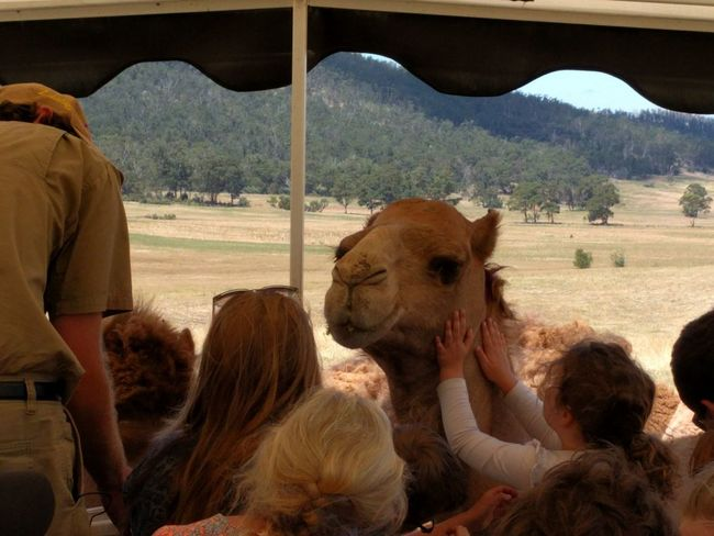 Mobilephotography Travel Destinations NoEditNoFilter Tasmania Happiness Hobart American Bison Desert Grazing Agriculture Camel