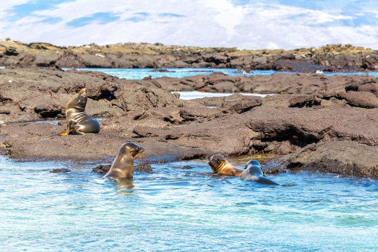 Galapagos sea lions swimming by rocks at fernandina island