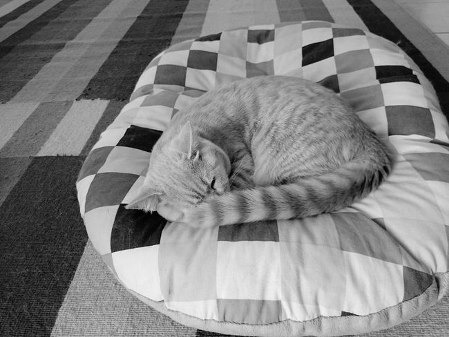 Blanket Multi Colored Indoors  Textile Bed No People Close-up Quilt Mammal Day Animal Themes Creme Color Rectangles Pillow Sleepy Cat Is This Art? Colorful DukeTheTomcat Stripes Pattern Tranquility At Home Growth Neu Wulmstorf Beauty In Nature Blackandwhite EyeEmNewHere Black And White Friday