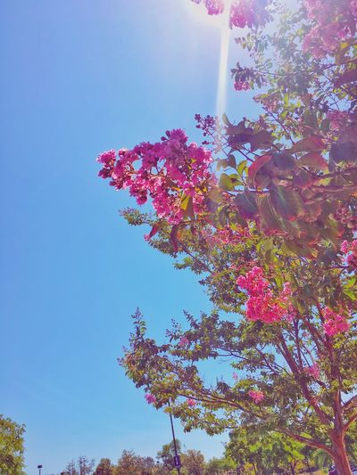 The Week On EyeEm Flower Growth Nature Beauty In Nature Tree Low Angle View Fragility No People Clear Sky Day Blossom Freshness Branch Outdoors Pink Color Sky Blue Plant Blooming Pure