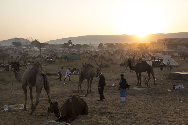 sunrise scene of camel field in Pushkar, India Beauty In Nature Day Domestic Animals Field Indiapictures Landscape Leisure Activity Lifestyle Lifestyles Livestock Mammal Nature Outdoors Pushkar Rajasthan Sun Sunbeam Sunlight Sunny Sunrise Tourism Tourist Travel Destinations Travel Photography Vacation
