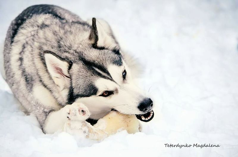 Husky Dog Dog❤ Dog Love Eye Photo Photography EyeEm Gallery Top Magdalena Teterdynko Dogslife Dogs Of EyeEm Dog Portrait