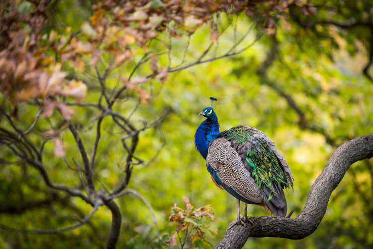 Peacock on a tree