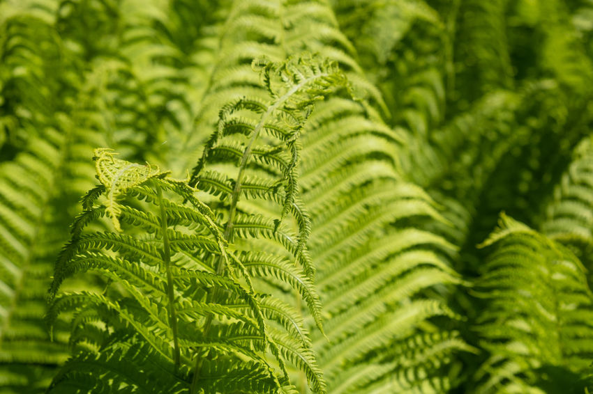 Copy Space Public Park Sunlight Backgrounds Beauty In Nature Botany Close-up Day Environment Fern Focus On Foreground Fragility Freshness Full Frame Green Color Growth Leaf Leaves Natural Pattern Nature No People Outdoors Plant Plant Part Selective Focus