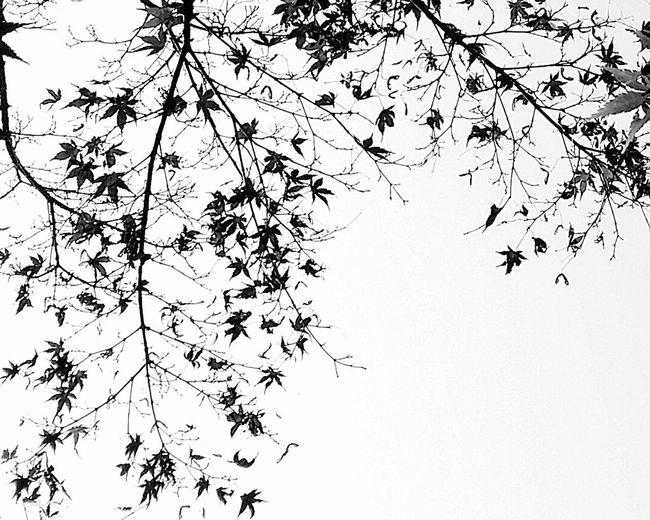 Maple Autumn Leaves Autumn Colours Shinjuku Gyoen National Garden Shinjukugyoennationalgardenautumn2016 Tokyoautumn Tokyoautumn2016 TokyoNov2016 Japan Bnw Bnwphotography Bnwtokyo Bnwjapan Bnwnature