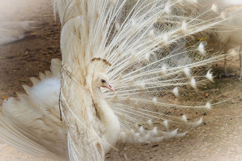 Beautiful white peafowl with feathers out. White male peacock with spread feathers. Albino peacock with fully opened tail. Albino Peafowl White Peacock Albino Albino Bird Albino Peacock Feathers Of A Bird Male Peacock Opened Tail Peacock Peacock Feather Peacock Feathers Peacockphotos Peafowl Peafowl Chicks Peafowl Head Peafowl Tail Spread Feathers White Peacock Dancing White Peafowl